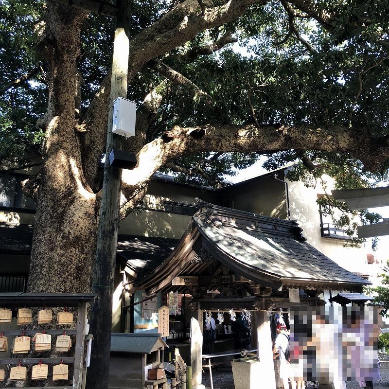 御霊神社の御神木タブノキの画像
