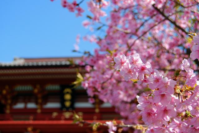鶴岡八幡宮桜の画像